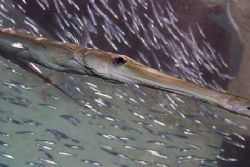 Cornetfish under the jetty, sharksbay.